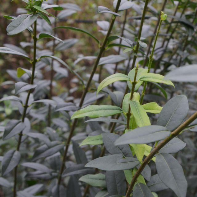 Schwarzgrüner Liguster Atrovirens Select Baums Baumschule Wittwer