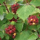 Japanische Weinbeere - Rubus phoenicolasius - 3 L-Container, Liefergröße 40/60 cm, gestäbt