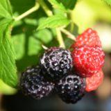 Himbeere Black Jewel - Rubus idaeus Black Jewel - 3 L-Container, Liefergröße 40/60 cm
