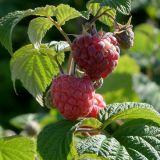 Himbeere Glen Ample(S) - Rubus idaeus Glen Ample(S) - 3 L-Container, Liefergröße 40/60 cm