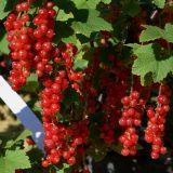 Rote Ribisel/Johannisbeere Augustus - Ribes rubrum Augustus - 5 L-Container, Liefergröße 60/80 cm