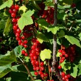 Rote Ribisel/Johannisbeere Rovada - Ribes rubrum Rovada - 5 L-Container, Liefergröße 60/80 cm