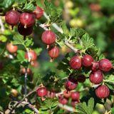 Stachelbeere Hinnomäki Rot - Ribes uva-crispa Hinnomäki Rot - 5 L-Container, Liefergröße 40/60 cm