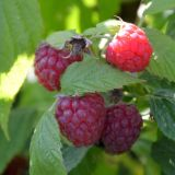Himbeere Aroma Queen(S) - Rubus idaeus Aroma Queen(S) - 3 L-Container, Liefergröße 40/60 cm