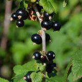 Schwarze Ribisel/Johannisbeere Titania - Ribes nigrum Titania - 5 L-Container, Liefergröße 80/100 cm