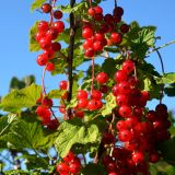 Rote Ribisel/Johannisbeere Rotet - Ribes rubrum Rotet - 5 L-Container, Liefergröße 60/80 cm