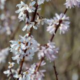 Schneeforsythie/Rosenforsythie Roseum- Abeliophyllum distichum Roseum - 3 L-Container, Liefergröße 60/80 cm