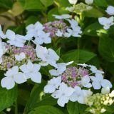 Gartenhortensie Lanarth White - Hydrangea macrophylla Lanarth White - 5 L-Container, Liefergröße 30/40 cm