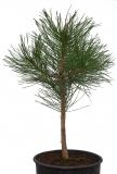 Schwarzkiefer - Pinus nigra subsp. nigra - 4 L-Container, Liefergröße 60/80 cm
