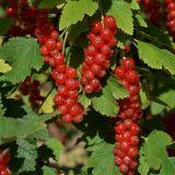 Rote Ribisel/Johannisbeere Heinemanns Rote Spätlese - Ribes rubrum Heinemanns Rote Spätlese - 5 L-Container, Liefergröße 60/80