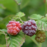 Himbeere Autumn First - Rubus idaeus Autumn First - 5 L-Container, Liefergröße 40/60 cm