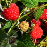 Himbeere Himbo Top® - Rubus idaeus Himbo Top® - Herbst-Himbeere - 3 L-Container, Liefergröße 40/60 cm