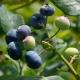 Heidelbeere Bluecrop - Vaccinium corymbosum Bluecrop - 3 L-Container, Liefergröße 20/30 cm