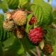 Himbeere Pokusa(S) - Rubus idaeus Pokusa(S) - 3 L-Container, Liefergröße 40/60 cm