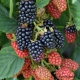 Brombeere Black Butte - Rubus fruticosus Black Butte - 3 L-Container, Liefergröße 40/60 cm, gestäbt