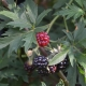 Brombeere Oregon Thornless / Thornless Evergreen - Rubus fruticosus Oregon Thornless / Thornless Evergreen - 3 L-Container, Liefergröße 40/60 cm, gestäbt
