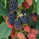 Zucker-Brombeere Asterina® - Rubus fruticosus Asterina® - 3 L-Container, gestäbt 40/60 cm