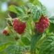 Himbeere Schönemann - Rubus idaeus Schönemann - 3 L-Container, Liefergröße 40/60 cm