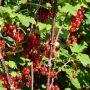 Rote Ribisel/Johannisbeere Stanza - Ribes rubrum Stanza - 5 L-Container, Liefergröße 60/80 cm