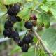 Schwarze Ribisel/Johannisbeere Titania - Ribes nigrum Titania - Hochstamm