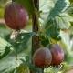 Stachelbeere Redeva - Ribes uva-crispa Redeva - 5 L-Container, Hochstämmchen, Hochstamm