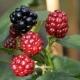Brombeere Thornfree - Rubus fruticosus Thornfree - 3 L-Container, Liefergröße 40/60 cm, gestäbt