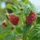 Himbeere Malling Promise - Rubus idaeus Malling Promise - 3 L-Container, Liefergröße 40/60 cm