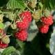 Zweimaltragende Himbeere Twotimer Rot® Sugana® - Rubus idaeus Twotimer Rot® Sugana®  - 3 L-Container, Liefergröße 40/60 cm