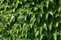 Dreilappige Jungfernrebe Veitchii - Parthenocissus tricuspidata Veitchii - 4 L-Container, Liefergröße 100/150 cm, gestäbt